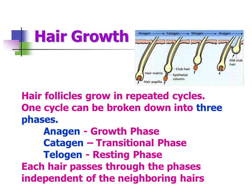 Hair Growth Hair follicles grow in repeated cycles.