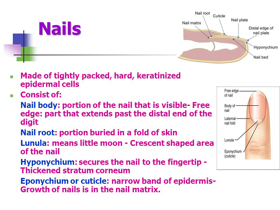 Nails Made of tightly packed, hard, keratinized epidermal cells Consist of: Nail body: portion of the nail that is visible- Free edge: part that exten