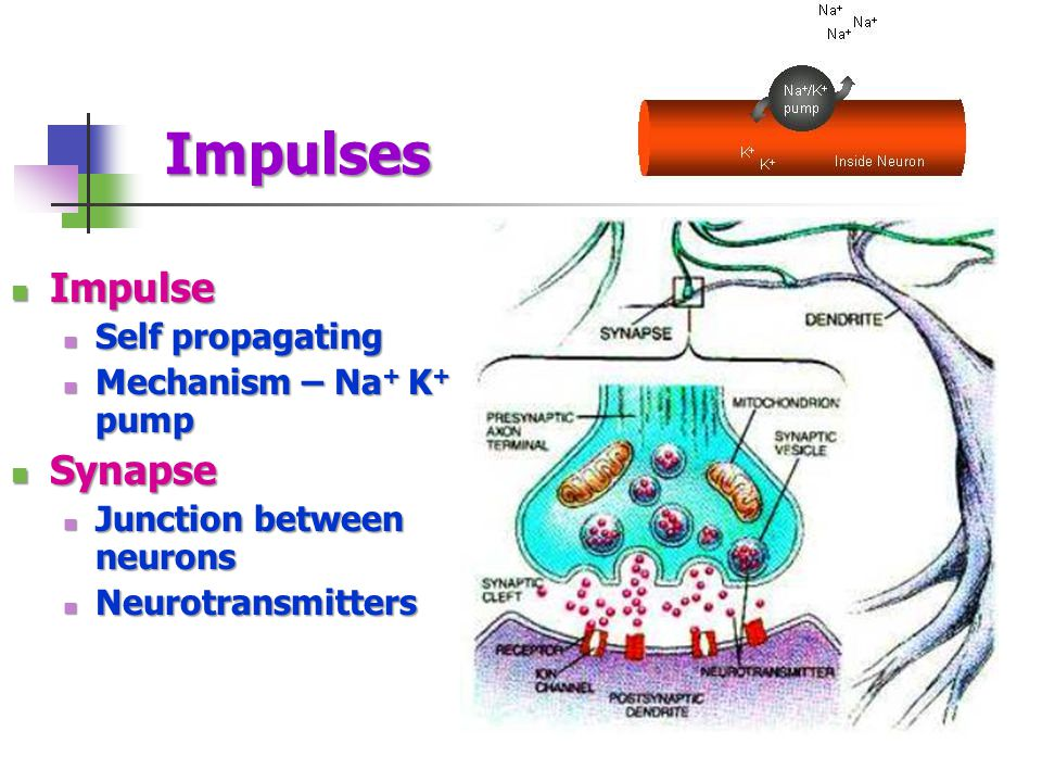Impulse Impulse Self propagating Self propagating Mechanism – Na + K + pump Mechanism – Na + K + pump Synapse Synapse Junction between neurons Junctio