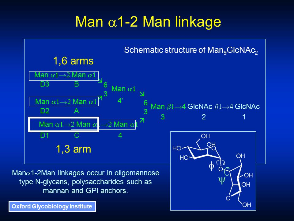 Oxford Glycobiology Institute 1,6 arms 1,3 arm Man  Man  Man  Man  Man  GlcNAc  GlcNAc Man  Man  Man  Man   6363 6363 D1C 4 321 4' A B D2 D3 Man  1-2 Man linkage Schematic structure of Man 9 GlcNAc 2 Man  1-2Man linkages occur in oligomannose type N-glycans, polysaccharides such as mannan and GPI anchors.