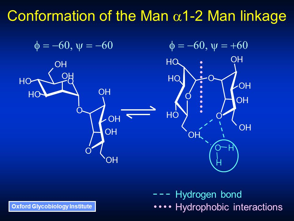 Oxford Glycobiology Institute Hydrogen bond Hydrophobic interactions O H H Conformation of the Man  1-2 Man linkage OH HO O O O OH HO O O O 