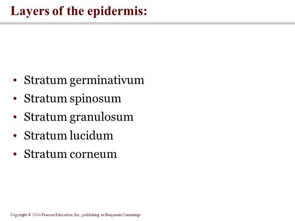 Copyright © 2004 Pearson Education, Inc., publishing as Benjamin Cummings Stratum germinativum Stratum spinosum Stratum granulosum Stratum lucidum Stratum corneum Layers of the epidermis: