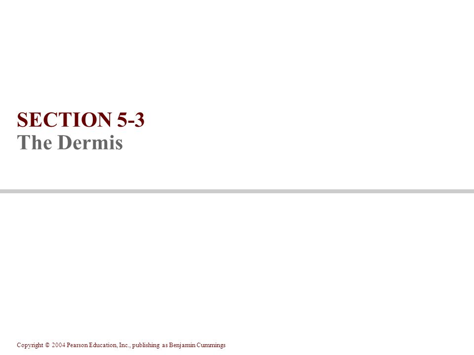 Copyright © 2004 Pearson Education, Inc., publishing as Benjamin Cummings SECTION 5-3 The Dermis