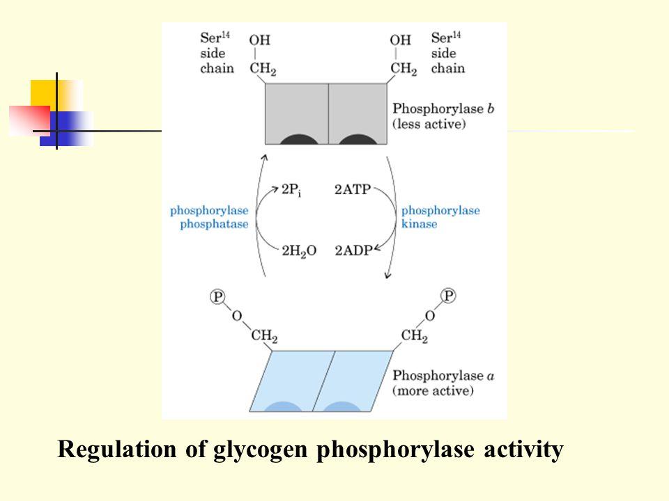 Regulation of glycogen phosphorylase activity