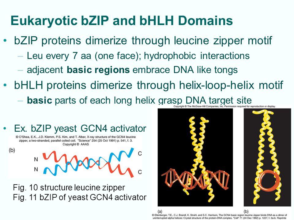 12-10 Eukaryotic bZIP and bHLH Domains bZIP proteins dimerize through leucine zipper motif –Leu every 7 aa (one face); hydrophobic interactions –adjacent basic regions embrace DNA like tongs bHLH proteins dimerize through helix-loop-helix motif –basic parts of each long helix grasp DNA target site Ex.