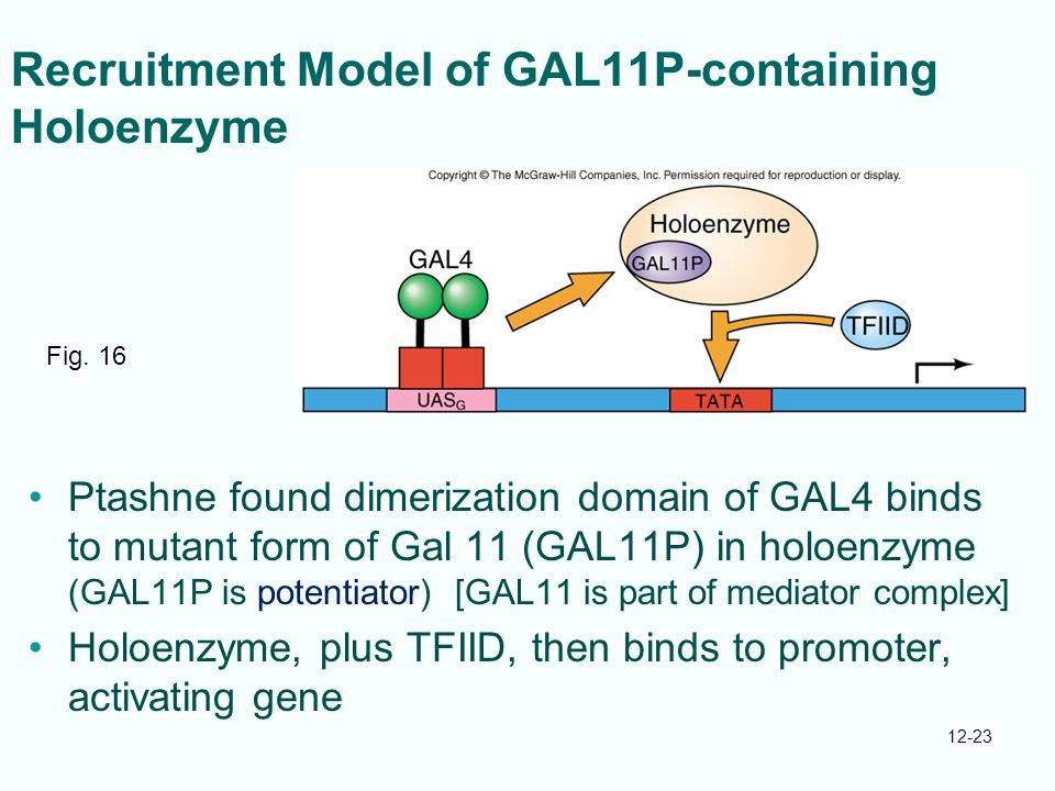 12-23 Recruitment Model of GAL11P-containing Holoenzyme Ptashne found dimerization domain of GAL4 binds to mutant form of Gal 11 (GAL11P) in holoenzyme (GAL11P is potentiator) [GAL11 is part of mediator complex] Holoenzyme, plus TFIID, then binds to promoter, activating gene Fig.