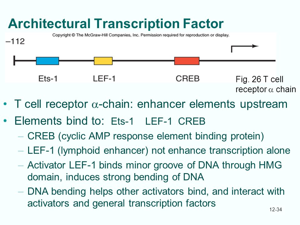 12-34 Architectural Transcription Factor T cell receptor  -chain: enhancer elements upstream Elements bind to: Ets-1 LEF-1 CREB –CREB (cyclic AMP response element binding protein) –LEF-1 (lymphoid enhancer) not enhance transcription alone –Activator LEF-1 binds minor groove of DNA through HMG domain, induces strong bending of DNA –DNA bending helps other activators bind, and interact with activators and general transcription factors Fig.