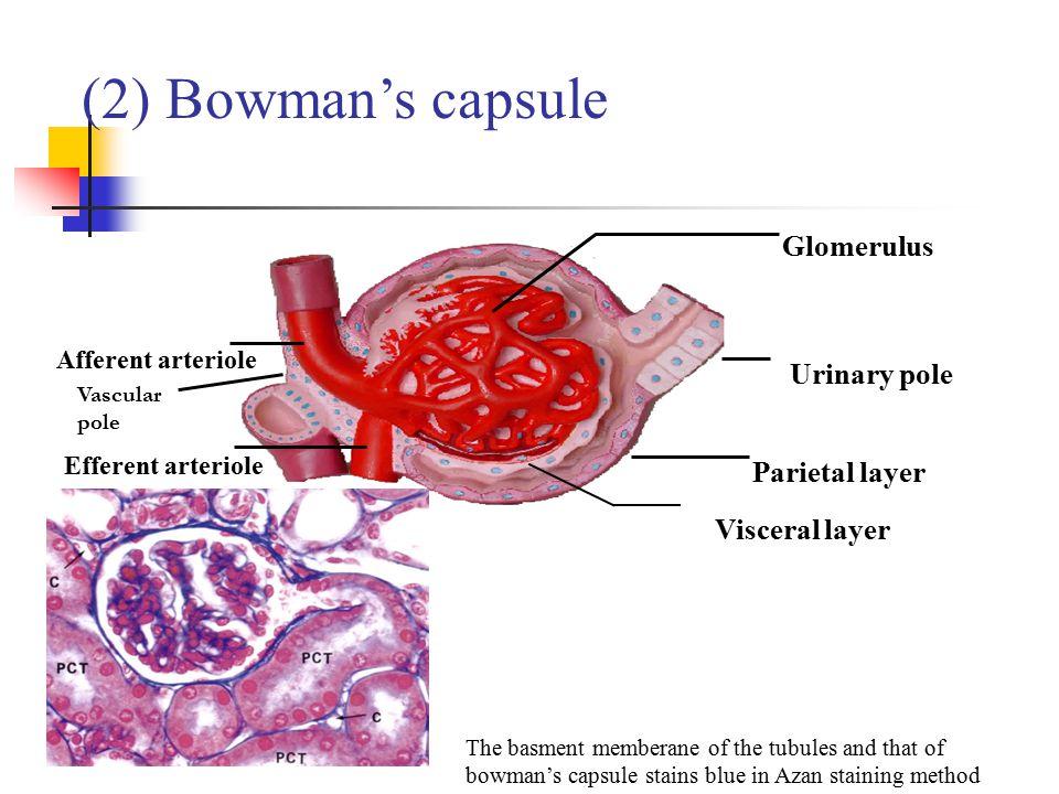 (2) Bowman's capsule Glomerulus Afferent arteriole Efferent arteriole Urinary pole Vascular pole Parietal layer Visceral layer The basment memberane o