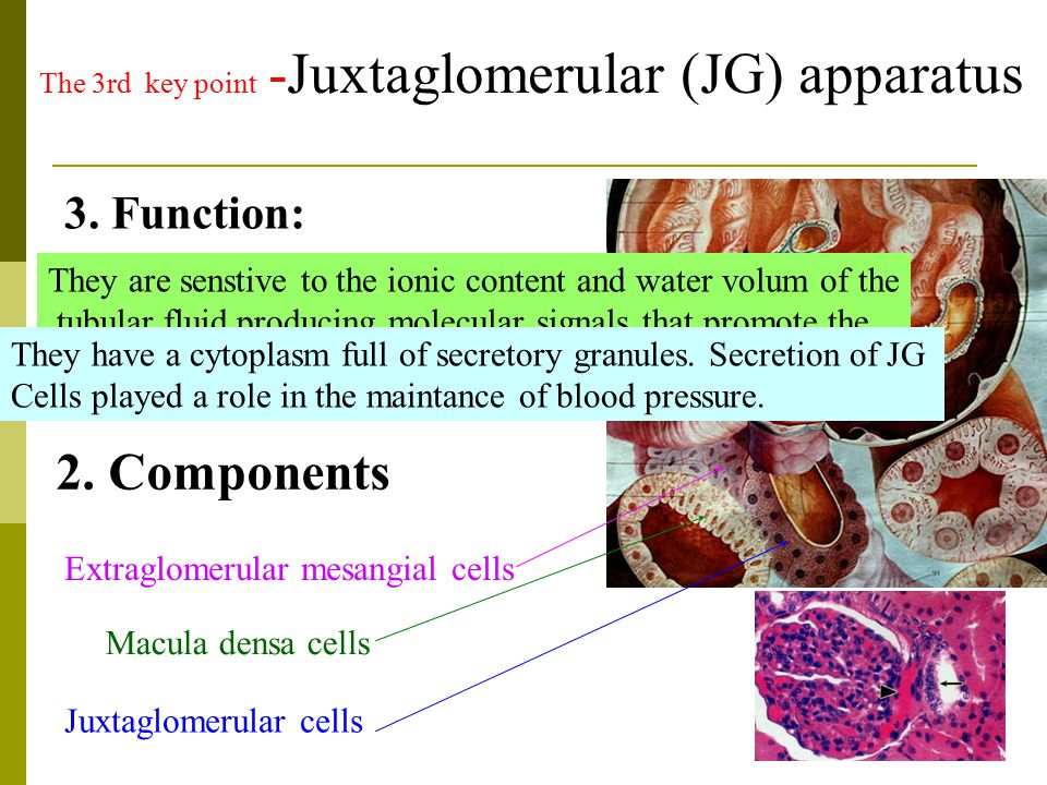 Juxtaglomerular cells The 3rd key point -Juxtaglomerular (JG) apparatus Macula densa cells Extraglomerular mesangial cells 2. Components 1. Location: