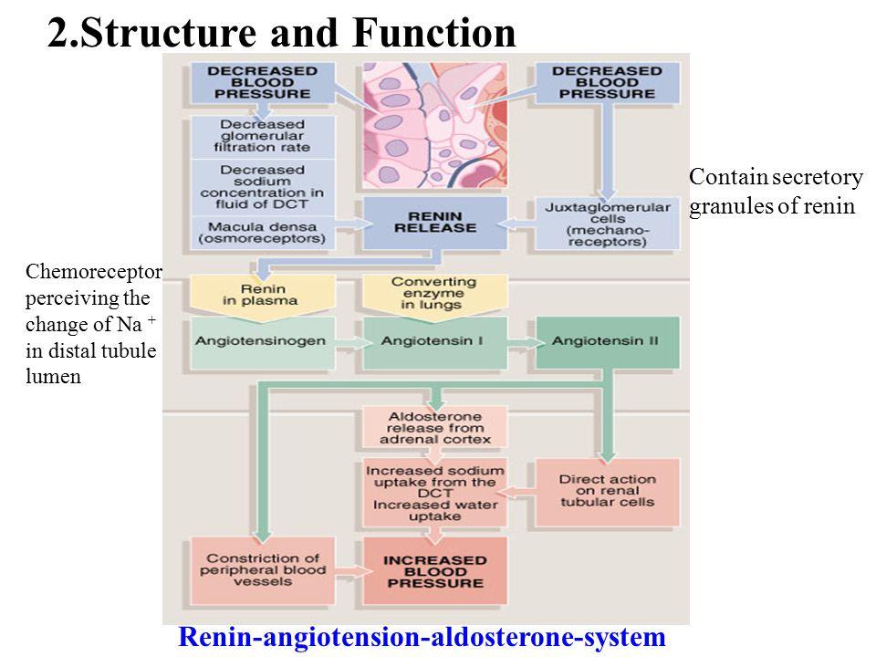 Contain secretory granules of renin Chemoreceptor perceiving the change of Na + in distal tubule lumen Renin-angiotension-aldosterone-system 2.Structu