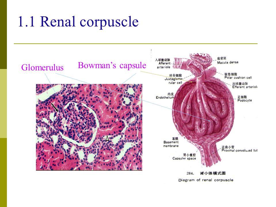 1.1 Renal corpuscle Glomerulus Bowman's capsule