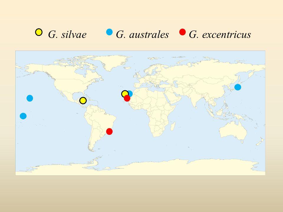 G. excentricusG. australesG. silvae