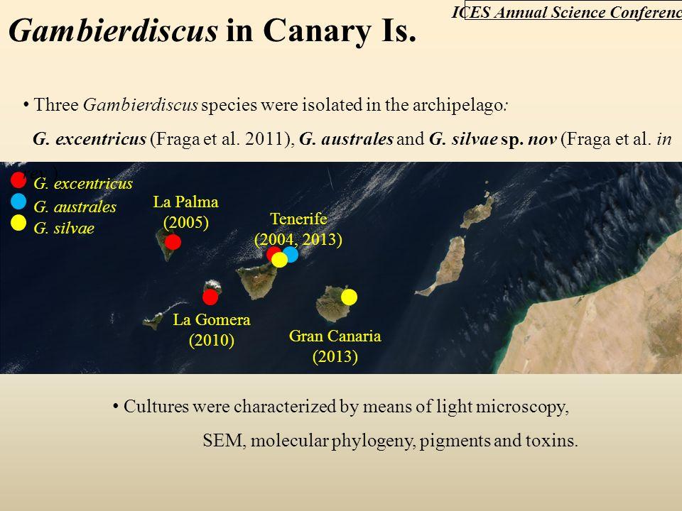 G. excentricus Tenerife (2004, 2013) La Palma (2005) La Gomera (2010) Gran Canaria (2013) Three Gambierdiscus species were isolated in the archipelago
