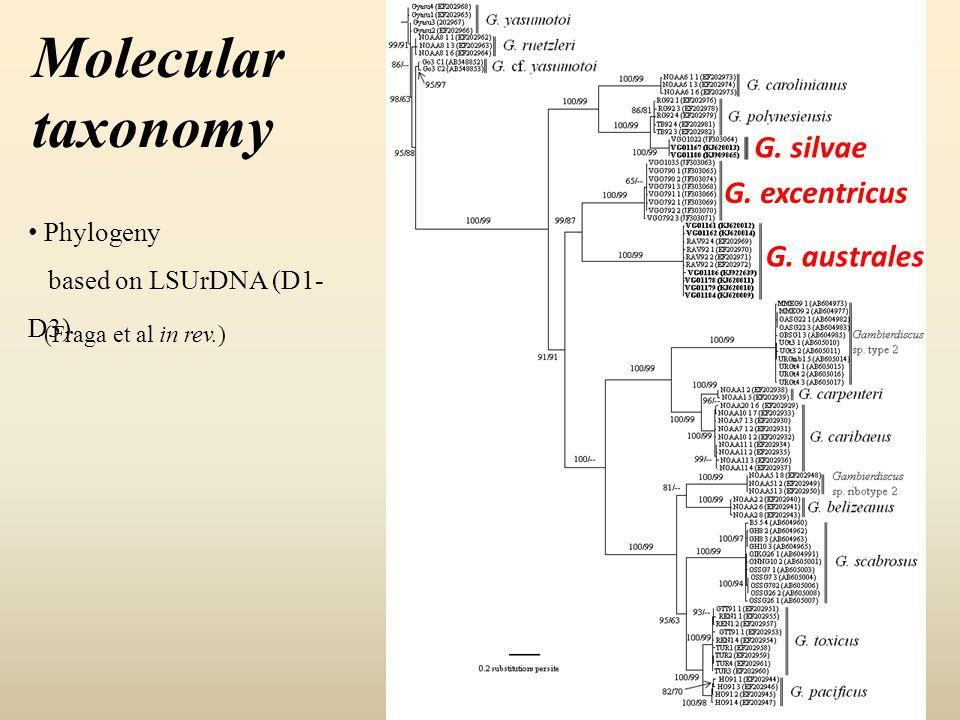 Molecular taxonomy Phylogeny based on LSUrDNA (D1- D3) (Fraga et al in rev.) G. silvae G. excentricus G. australes