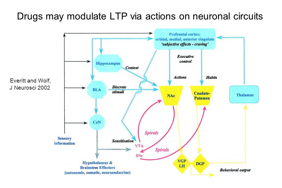 Medium spiny neurons Interneurons Control 50µM GluControl 50μM Glu Glutamate agonists produce rapid internalization of GluR1 Mangiavacchi & Wolf, Eur J Neurosci, submitted