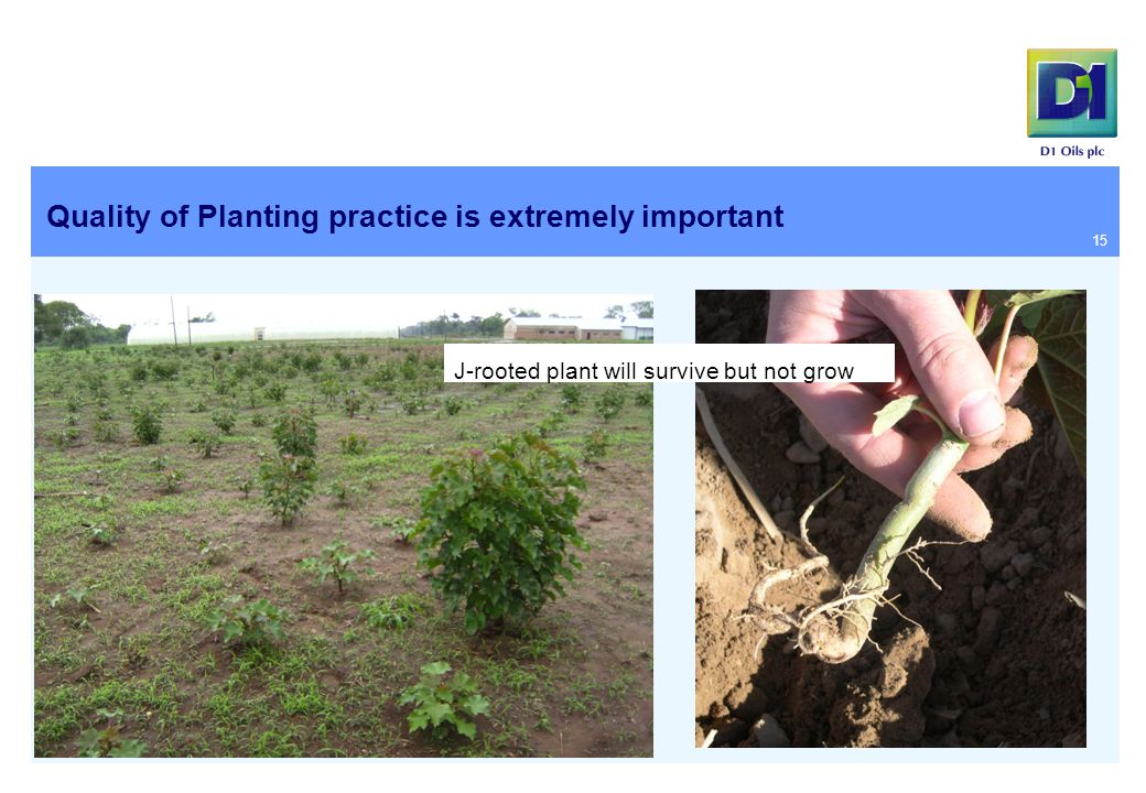 Quality of Planting practice is extremely important 15 J-rooted plant will survive but not grow