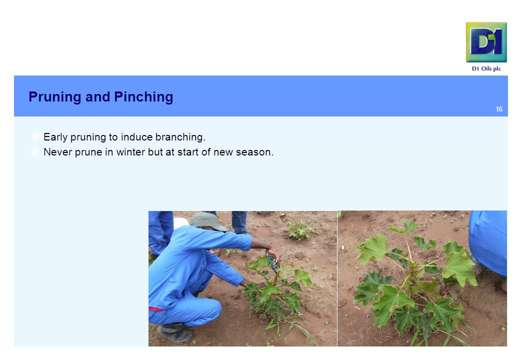 Pruning and Pinching  Early pruning to induce branching.