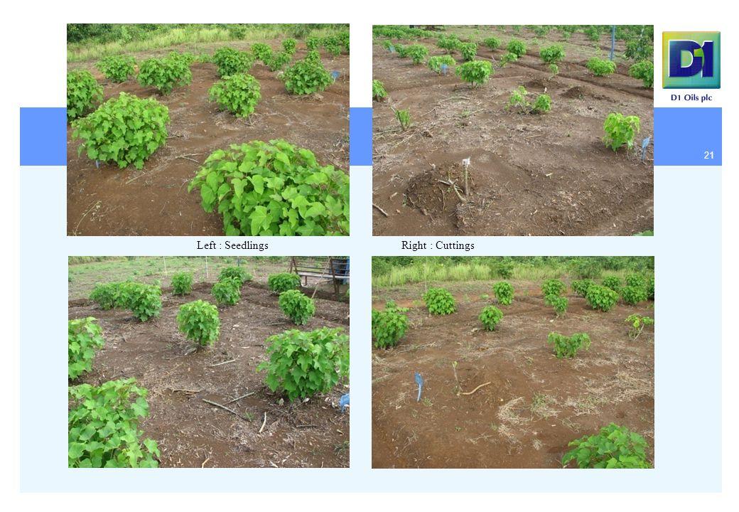 21 Left : SeedlingsRight : Cuttings