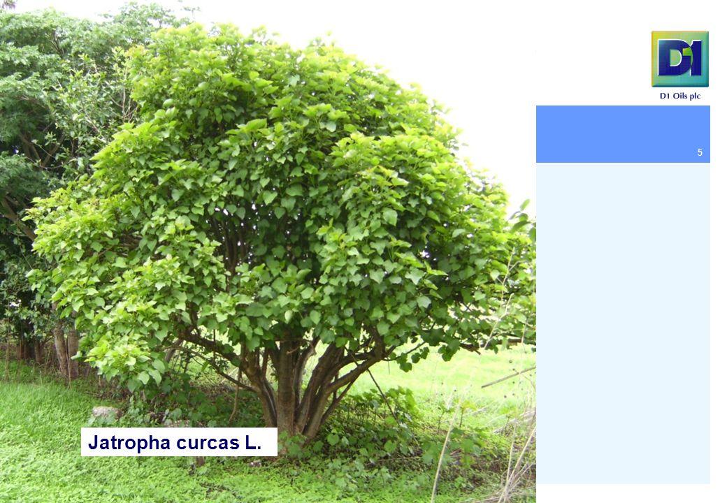 5 Jatropha curcas L.