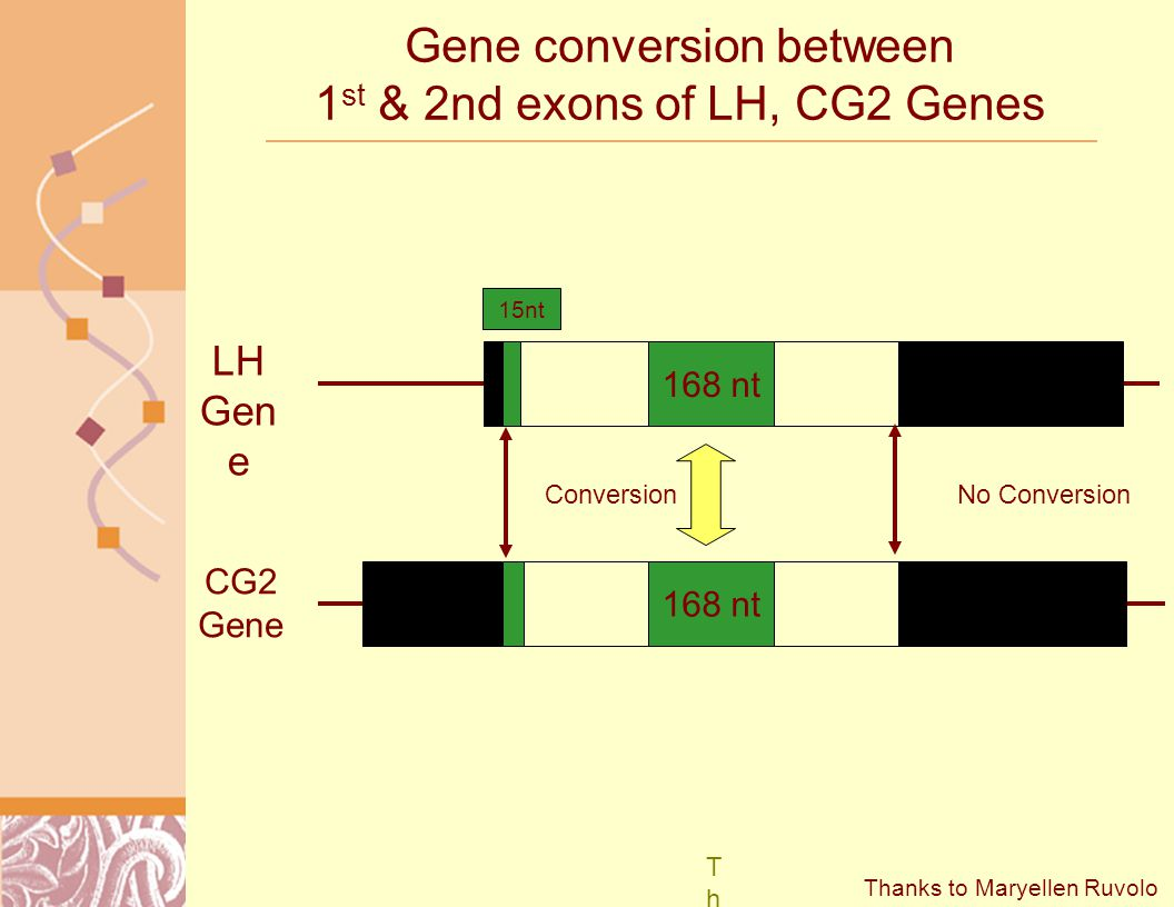 Gene conversion between 1 st & 2nd exons of LH, CG2 Genes LH Gen e CG2 Gene 168 nt 15nt No ConversionConversion ThankThank Thanks to Maryellen Ruvolo