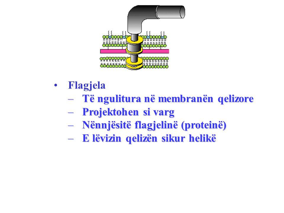 Flagjela –Të ngulitura në membranën qelizore –Projektohen si varg –Nënnjësitë flagjelinë (proteinë) –E lëvizin qelizën sikur helikë