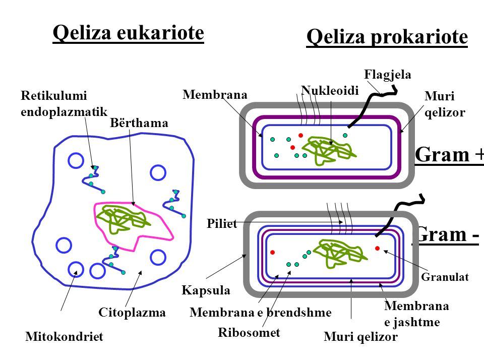 Qeliza eukariote Qeliza prokariote Gram + Gram - Muri qelizor Membrana e brendshme Membrana e jashtme Ribosomet Retikulumi endoplazmatik Mitokondriet Granulat Muri qelizor Nukleoidi Bërthama Membrana Kapsula Citoplazma Flagjela Piliet