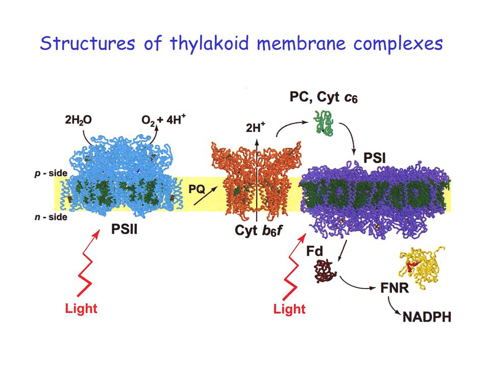Structures of thylakoid membrane complexes