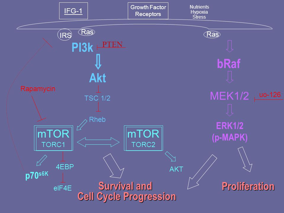 PI3k IFG-1 Growth Factor Receptors Nutrients Hypoxia Stress PTEN IRS Ras bRaf ERK1/2 (p-MAPK) Proliferation Akt p70 s6K Survival and Cell Cycle Progression MEK1/2 TSC 1/2 Rheb AKT 4EBP mTOR TORC1 mTOR TORC2 elF4E uo-126 Rapamycin