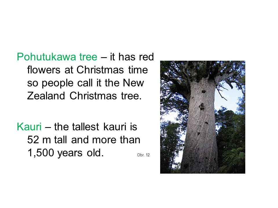 Pohutukawa tree – it has red flowers at Christmas time so people call it the New Zealand Christmas tree. Kauri – the tallest kauri is 52 m tall and mo