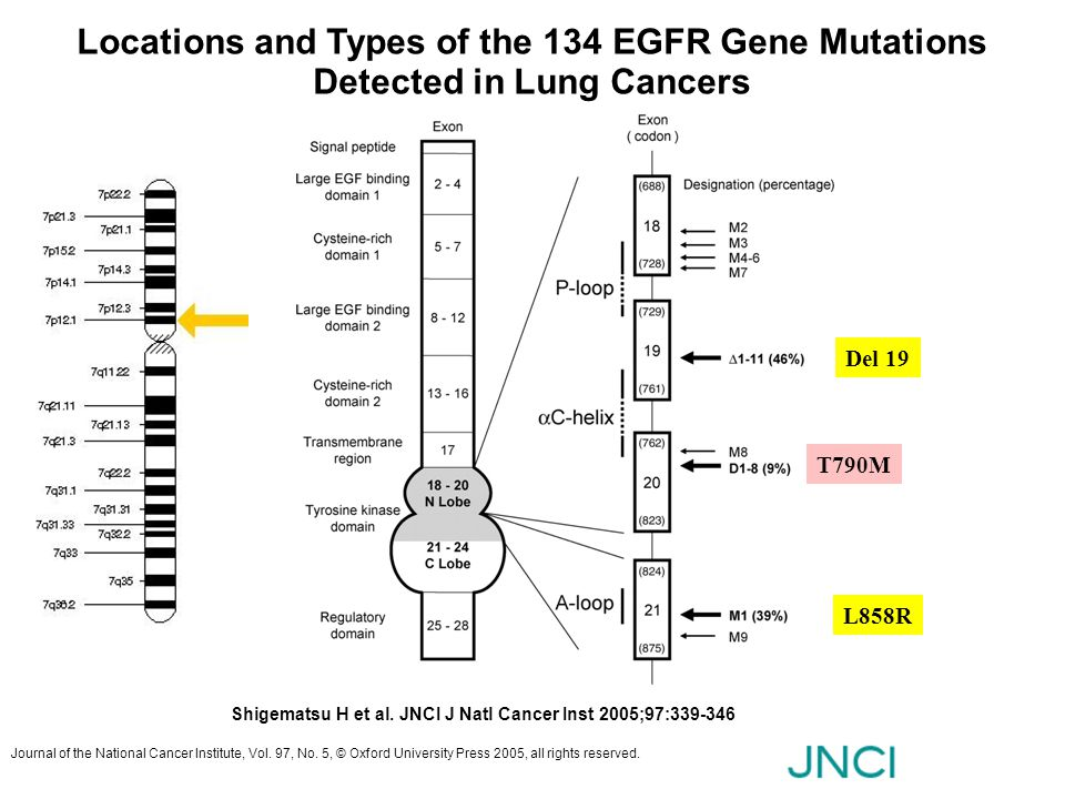 Locations and Types of the 134 EGFR Gene Mutations Detected in Lung Cancers Shigematsu H et al. JNCI J Natl Cancer Inst 2005;97:339-346 Journal of the