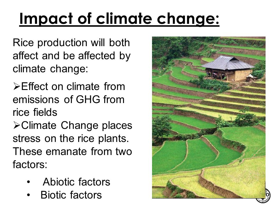 Impact of climate change: Rice production will both affect and be affected by climate change:  Effect on climate from emissions of GHG from rice fiel