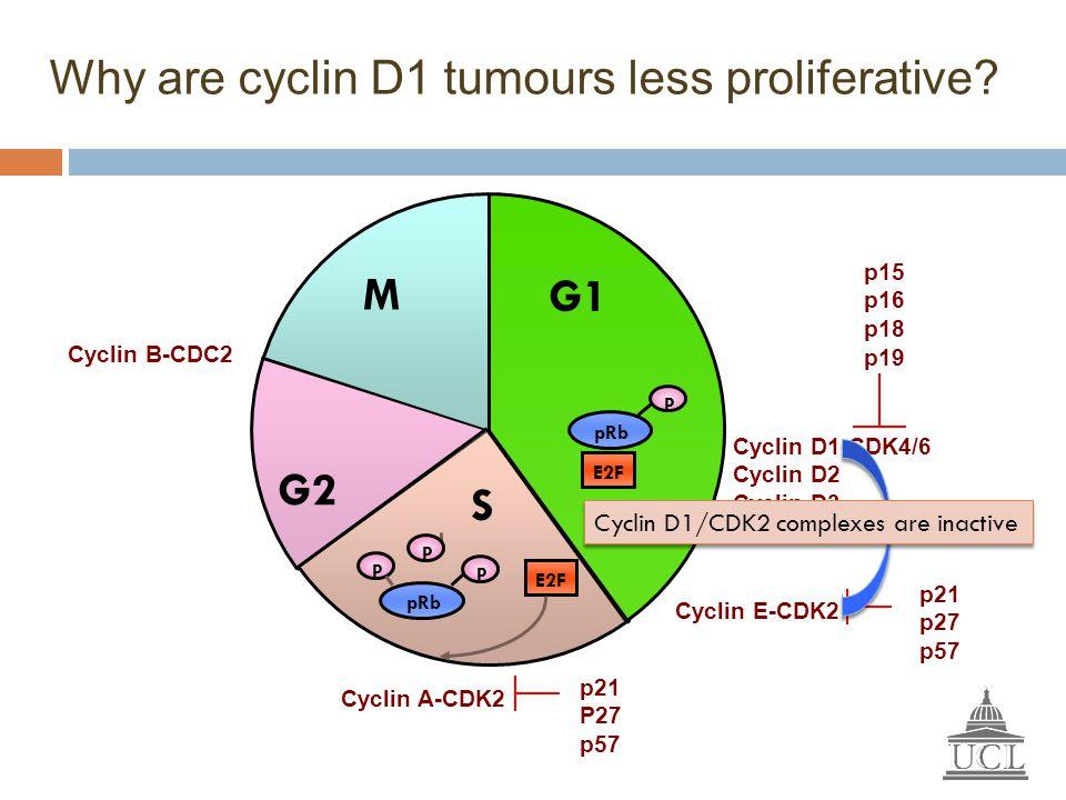Cyclin D1-CDK4/6 Cyclin D2 Cyclin D3 Cyclin E-CDK2 p15 p16 p18 p19 Cyclin A-CDK2 p21 P27 p57 G2 M S E2F pRb P P P G1 pRb P E2F p21 p27 p57 Cyclin B-CD
