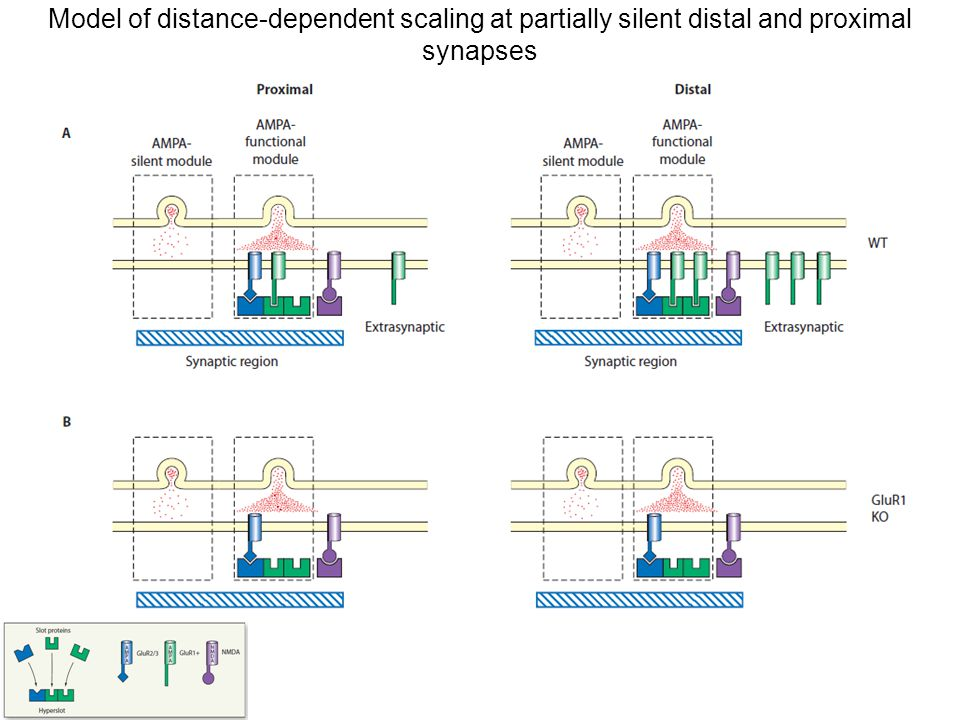Model of distance-dependent scaling at partially silent distal and proximal synapses
