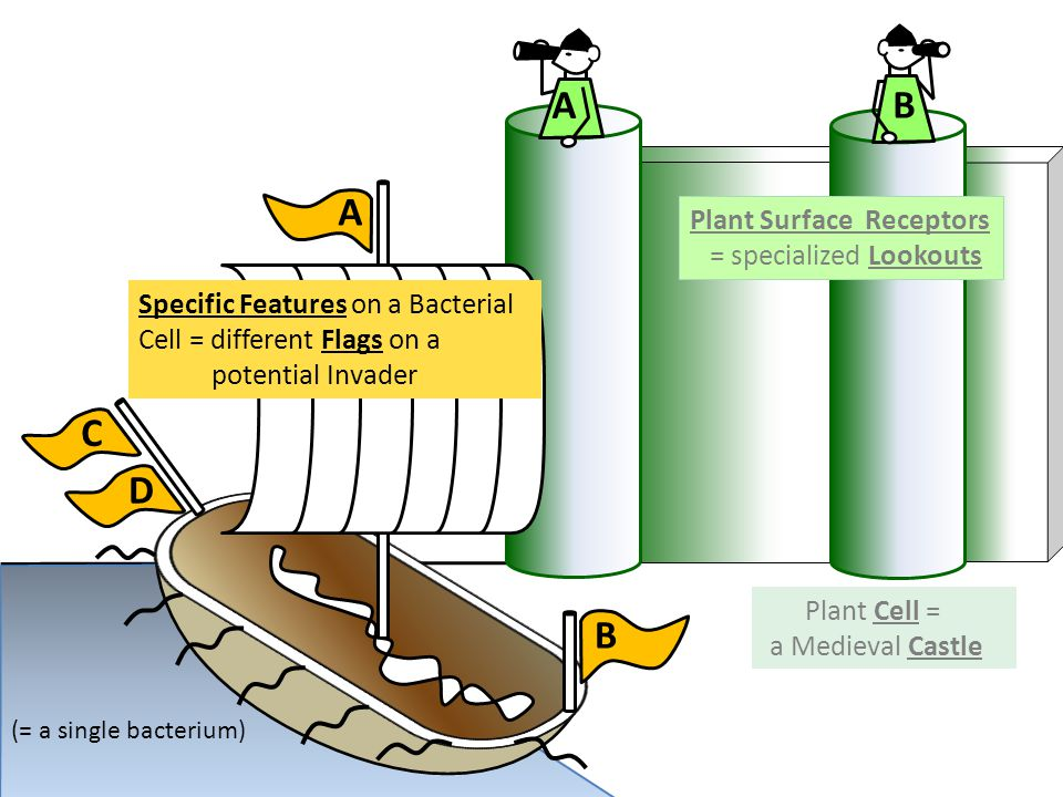 B C D A B A Plant Cell = a Medieval Castle Specific Features on a Bacterial Cell = different Flags on a potential Invader (= a single bacterium) Plant