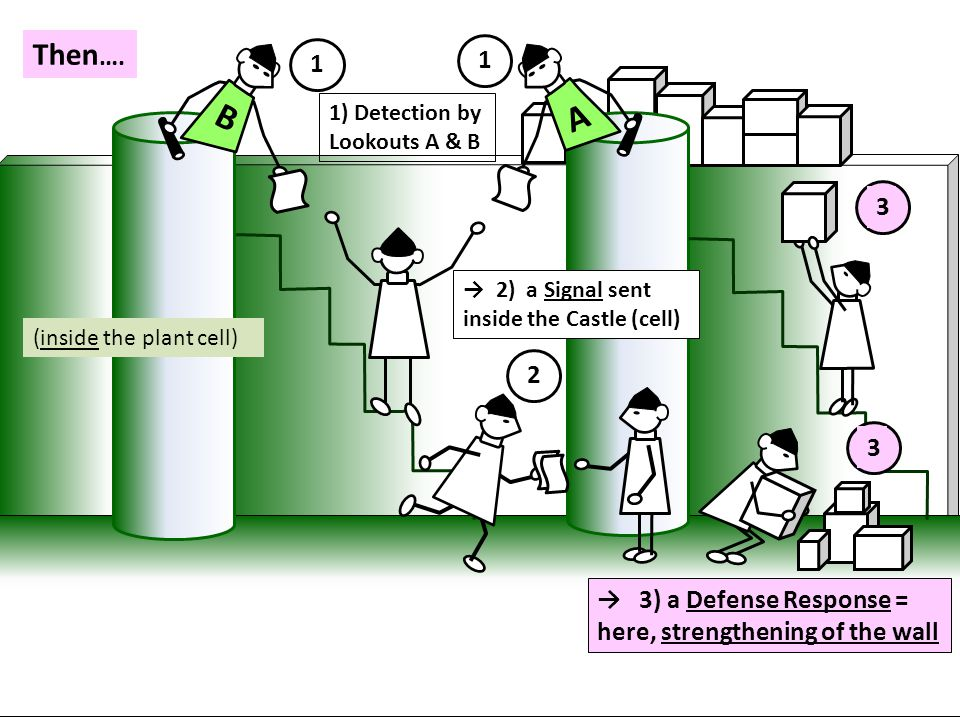 B A 1 1 2 Then …. 3 (inside the plant cell) → 3) a Defense Response = here, strengthening of the wall 1) Detection by Lookouts A & B → 2) a Signal sen