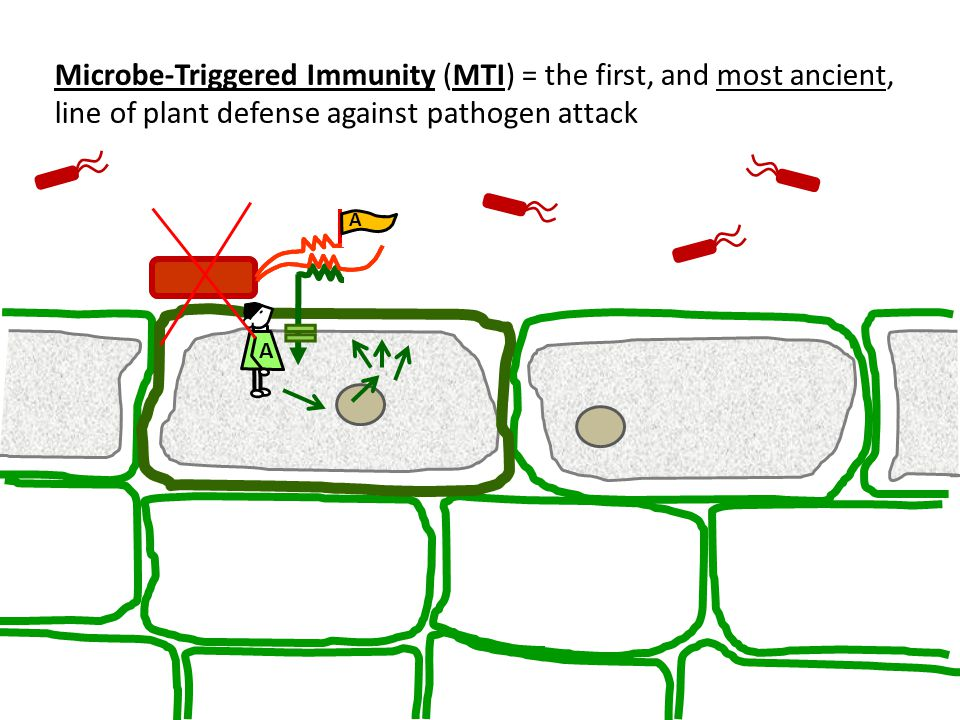 Microbe-Triggered Immunity (MTI) = the first, and most ancient, line of plant defense against pathogen attack A A