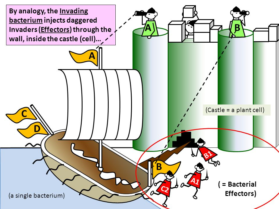 B A1 B1 C D A C2 A B By analogy, the Invading bacterium injects daggered Invaders (Effectors) through the wall, inside the castle (cell)… (Castle = a
