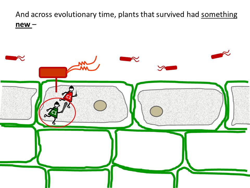 And across evolutionary time, plants that survived had something new – C1