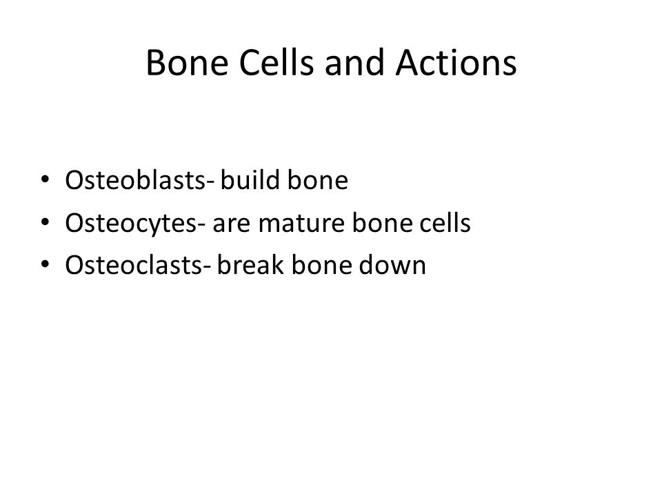 Bone Cells and Actions Osteoblasts- build bone Osteocytes- are mature bone cells Osteoclasts- break bone down