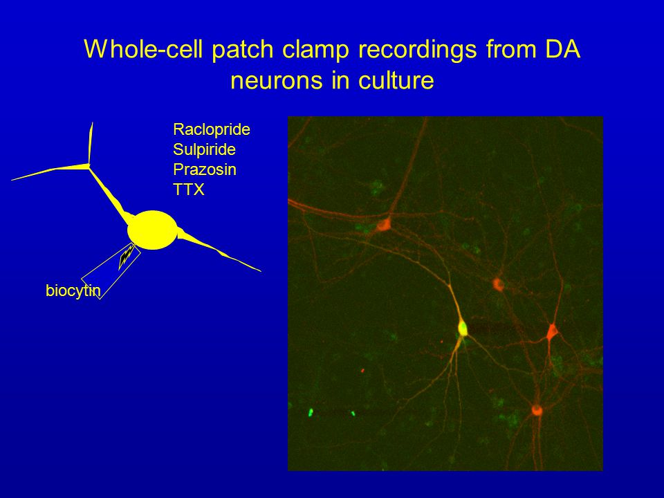 Whole-cell patch clamp recordings from DA neurons in culture biocytin Raclopride Sulpiride Prazosin TTX