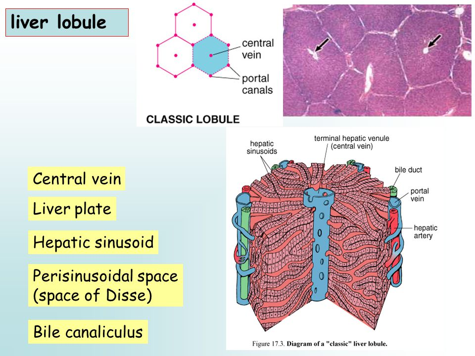 liver lobule Central vein Liver plate Bile canaliculus Perisinusoidal space (space of Disse) Hepatic sinusoid