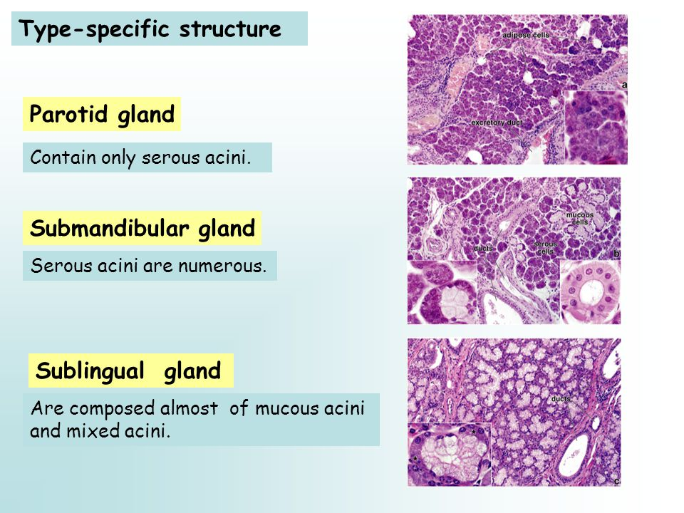 Type-specific structure Sublingual gland Parotid gland Submandibular gland Contain only serous acini.