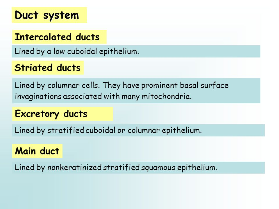 Duct system Intercalated ducts Striated ducts Excretory ducts Lined by a low cuboidal epithelium. Lined by columnar cells. They have prominent basal s