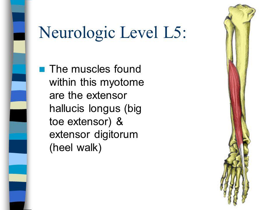 Neurologic Level L5: The muscles found within this myotome are the extensor hallucis longus (big toe extensor) & extensor digitorum (heel walk)
