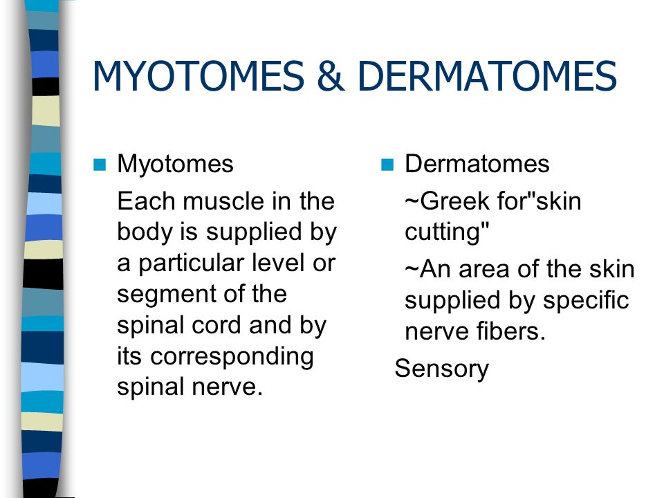 MYOTOMES & DERMATOMES Myotomes Each muscle in the body is supplied by a particular level or segment of the spinal cord and by its corresponding spinal