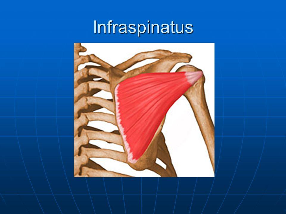 Infraspinatus