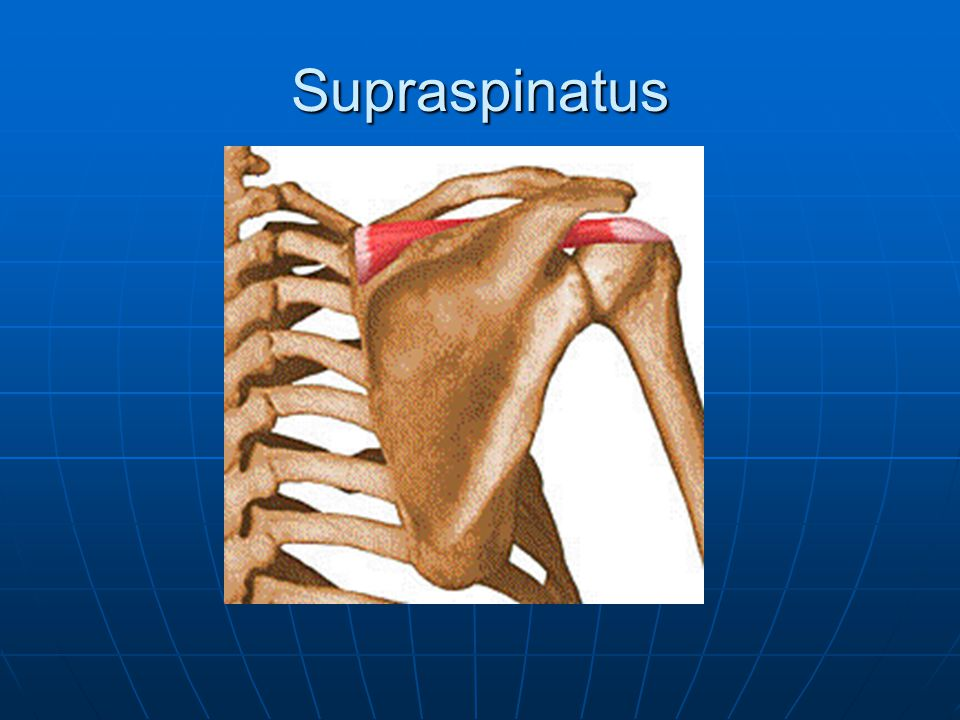 Supraspinatus O: Supraspinous fossa of scapula O: Supraspinous fossa of scapula I: Greater tubercle of the humerus I: Greater tubercle of the humerus A: Shoulder abduction A: Shoulder abduction N: Suprascapular nerve (C5, C6) N: Suprascapular nerve (C5, C6) *Rotator Cuff Muscle*