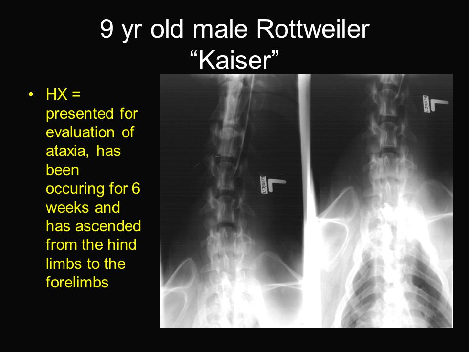 9 yr old male Rottweiler Kaiser HX = presented for evaluation of ataxia, has been occuring for 6 weeks and has ascended from the hind limbs to the forelimbs