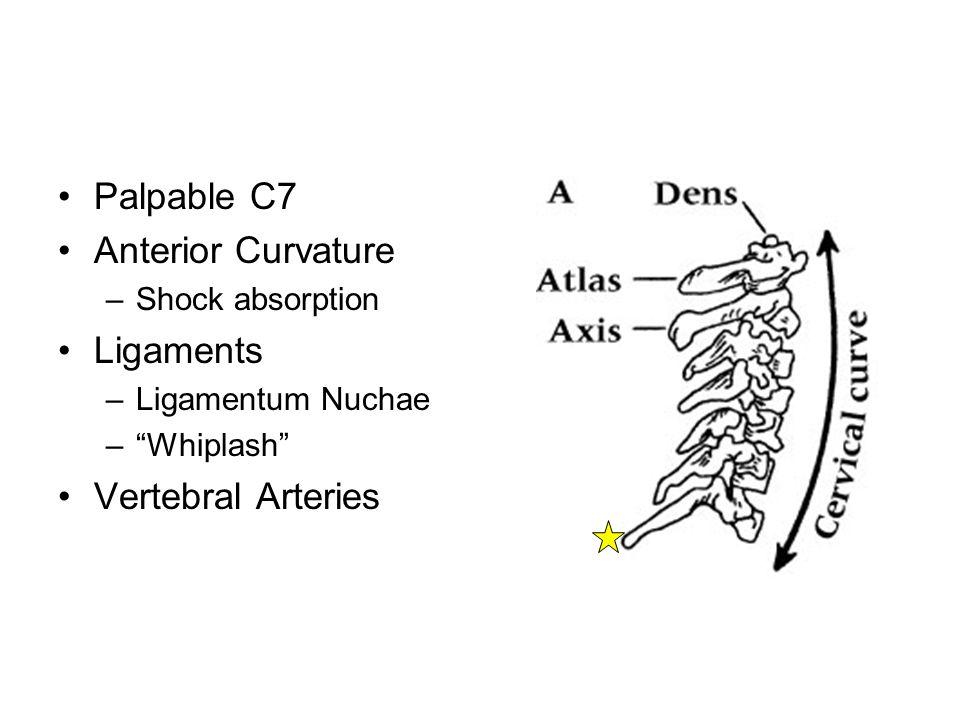 Spinal Nerves –C1-T1 –Cervical Plexus C1-C4 C4 -Phrenic Nerve - Breathing –Brachial Plexus C5-T1 C3