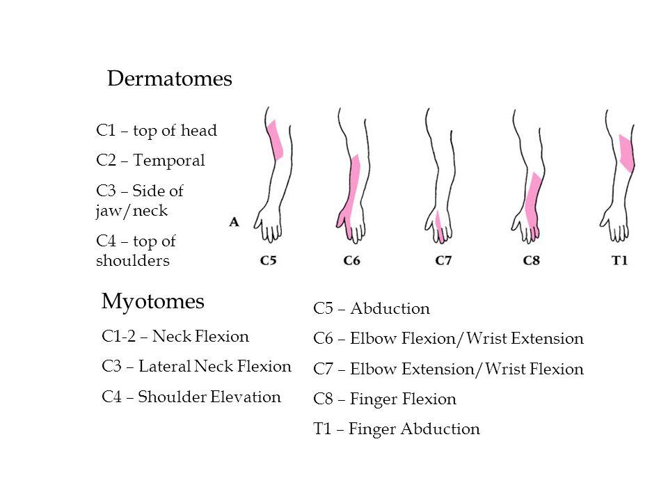 Brachial Plexus – Reflex Tests C5 – biceps brachii reflex (anterior arm near antecubital fossa) C6 – brachioradialis reflex (thumb side of forearm) C7 – triceps brachii reflex (at insertion on olecranon process)